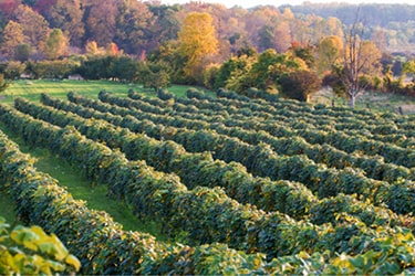 Vineyard during fall, surrounded by trees