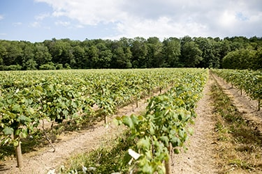 Green vineyard with lush trees in the background
