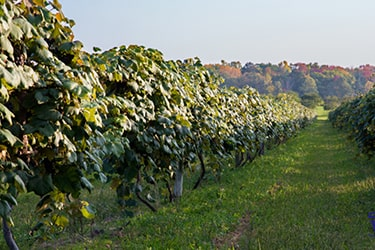 Rolling vineyard rows surrounded by trees in the fall