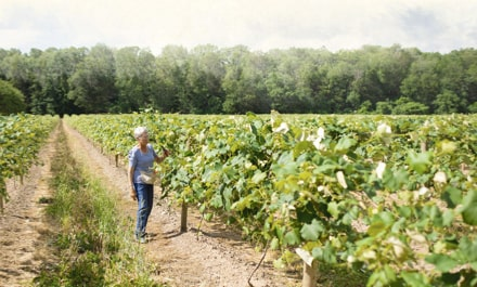 Farmer walking through rows of a vineyard on a sunny day