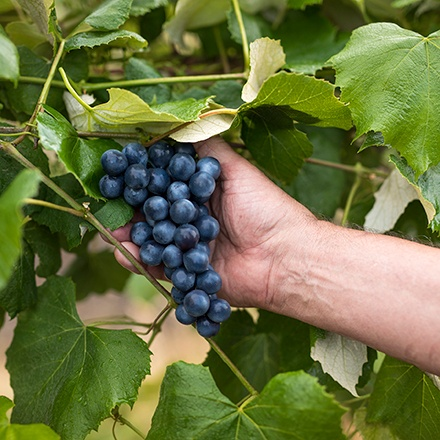 Hand reaching to pick a bunch of grapes off the vine.