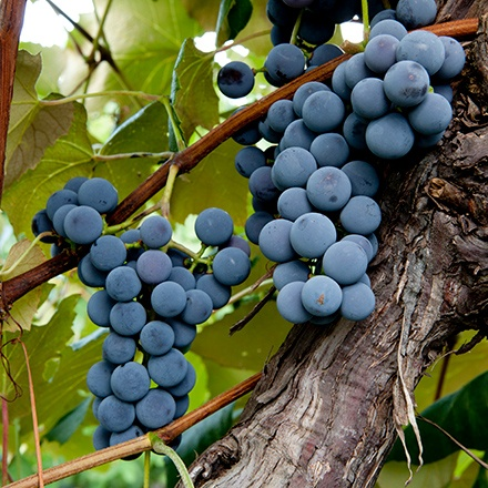 Close of of Concord grape bunches hanging on the vine.