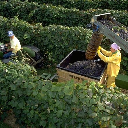 Farmers working on a Welch's grape farm