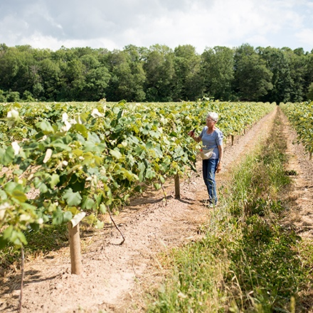Farmer walking through the vineyard on a sunny day, checking her grapes.
