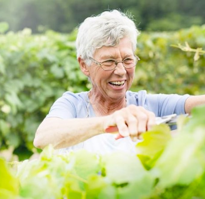 An elderly female farmer smiling, harvesting Welch's Concord grapes