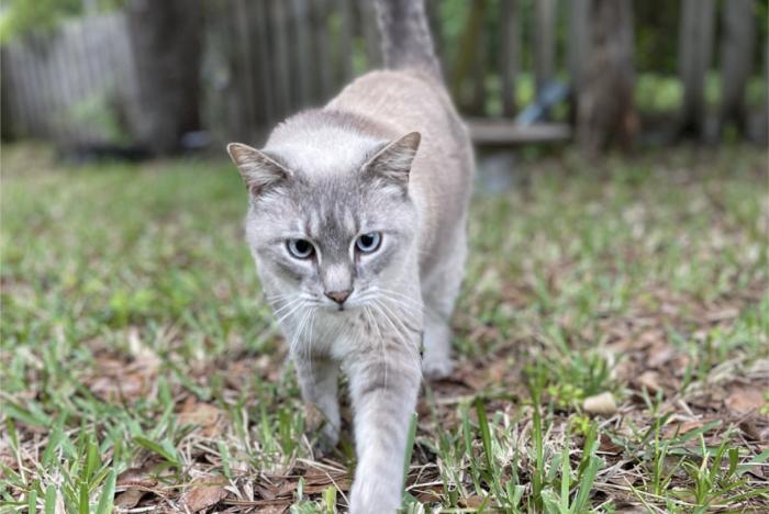 Silver cat walking on grass